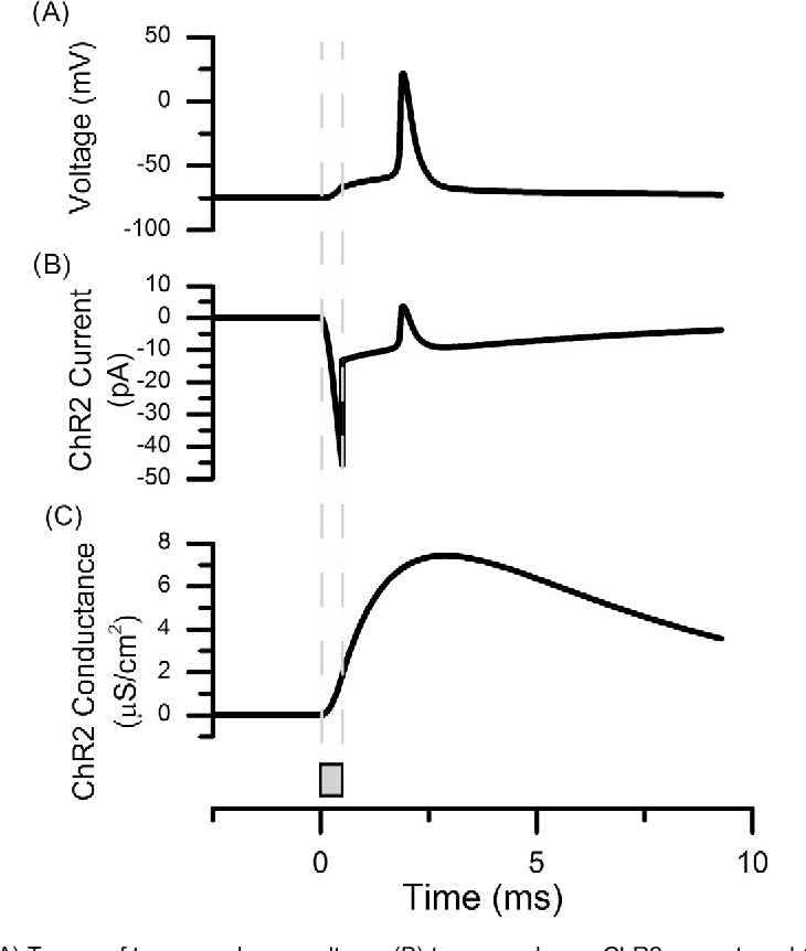Fig. 2. Action potential initiation. (A) Traces of transmembrane voltage, (B) transmembrane ChR2 current, and (C) ChR2 channel conductance in response to a 0.5-ms blue light pulse (as denoted by the gray bar and vertical dotted gray line) from the single fiber optic light density distribution model. The following parameters were used: axon diameter = 5.7 lm, source-to-axon distance = 530 lm, and the central axon node was directly under the center of the light source.