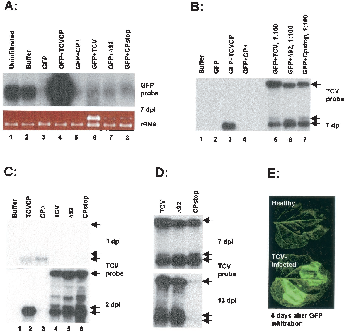 FIG. 3. TCV CP suppresses an early initiation step of PTGS. (A) TCV CP confers strong silencing suppression, whereas the TCV genome constructs do not. GFP 16c plant leaves were infiltrated with Agrobacterium suspensions carrying the respective constructs indicated on the top of each lane. RNAs were extracted at 7 dpi, and RNA blot membranes were hybridized with a 32P-labeled GFP probe (random priming labeling). The bottom panel shows the ethidium bromide-stained gel as a loading control. TCV genomic RNA is visible as the intensely stained band above the rRNA band in lanes 6, 7, and 8. (B) Comparison of the levels of TCV CP mRNA transcribed from the transient expression vector and from replicating viral genomes. The same RNA samples (7 dpi) used in panel A were subjected to hybridization with a 32P-labeled, TCV CP-specific probe. Note that the last three samples were diluted 1:100. The positions of TCV genomic (top arrow) and subgenomic (bottom two arrows) RNAs are indicated to the right in panels B, C, and D. (C) TCV CP mRNA transcribed from the transient expression vector accumulates earlier than those made from the replicating viral genomes. GFP 16c plant leaves were infiltrated with respective Agrobacterium suspensions indicated on the top of the panels, and the infiltrated leaves were extracted for RNA at 1 dpi (top panel) and 2 dpi (bottom panel). The RNA blot membranes were hybridized with a TCV CP-specific probe. (D) TCV CP production during virus infection is required for sustained accumulation of TCV viral RNAs. The accumulation of TCV genomic and subgenomic RNA is shown at 7 and 13 dpi in leaves infiltrated with TCV, 92, and CPstop constructs. (E) CP produced in the leaves systemically infected with TCV suppresses silencing of unrelated RNA. The symptomatic leaves of TCV-infected GFP 16c plants and the corresponding leaves of healthy GFP 16c plants were infiltrated with Agrobacterium suspension carrying PZP-GFP construct. The panel shows one infiltrated le