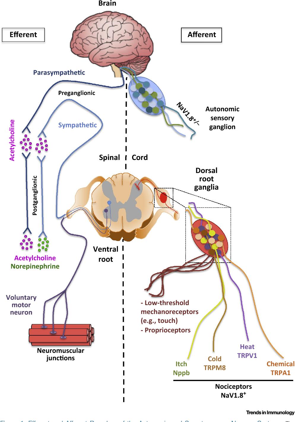 Sensory Ganglia Peripheral Nervous System Diagram - Data Wiring ...