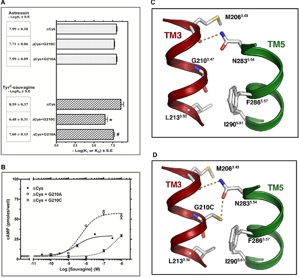 """FIGURE 8. Effect of G2103.47C and G2103.47A mutations on the binding and signaling properties of !Cys CRF1R. A, binding affinities of astressin (%logKi) and 125I-Tyr0-sauvagine (%logKD) for """"Cys and its substituted Cys mutants, """"Cys & G210 3.47C and """"Cys & G2103.47A, are represented as bars, which indicate the mean ' S.E. values from 3 to 4 independent experiments. The asterisk and pound indicate that mutations significantly alter 125I-Tyr0-sauvagine binding affinity compared with that of """"Cys and """"Cys & G2103.47C, respectively (p ( 0.05; one-way ANOVA). B, stimulation of cAMP accumulation in HEK293 cells expressing """"Cys, """"Cys & G2103.47C, or """"Cys & G2103.47A by sauvagine. The means and S.E. (duplicate determination) are shown from a representative experiment performed 4 –11 times with similar results. The potencies (%logEC50) of sauvagine for the """"Cys, """"Cys & G210 3.47C, and """"Cys & G2103.47A, determined from these experiments, are 8.68 ' 0.14, 6.60 ' 0.13, and 8.15 ' 0.06, respectively. C and D, molecular model of the interface between TM3 and -5 of CRF1R, constructed from the structure of the ligand-free GCGR. C, N283 5.54 in TM5 is forming an inter-helical hydrogen bond with the backbone of M2063.43. D, mutation of G2103.47 to Cys adds a polar side chain that interacts with N2835.54."""