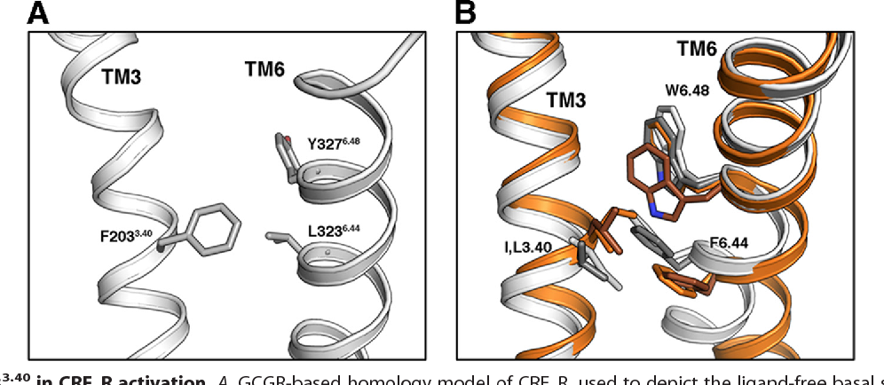 """FIGURE 6. Role of F2033.40 in CRF1R activation. A, GCGR-based homology model of CRF1R, used to depict the ligand-free basal state. Residues F203 3.40, L3236.44, and Y3276.48 are shown, whose homologous amino acids in class A GPCRs play a key role in receptor activation. B, comparison of the amino acids at positions 3.40, 6.44, and 6.48 in the inactive (white) and active (orange) """"2-AR and the inactive (gray) and active (brown) rhodopsin."""