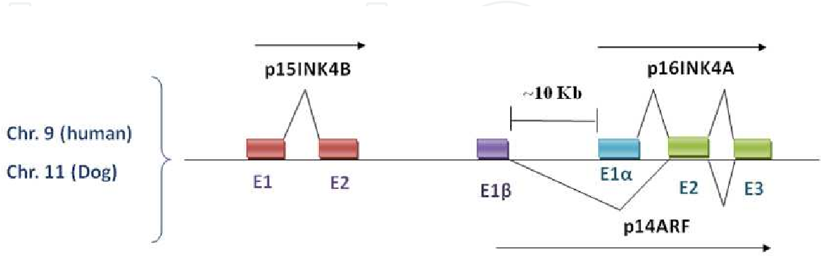 Fig. 2. Alternative splicing of p16INK4A and p14ARF. Exon E1┙ is spliced to INK4A exons - E2 and E3 forming the p16 mature transcript whereas E1┚ is alternatively spliced to the same E2 and E3 exons generating the mature p14ARF transcript. The latter produces a