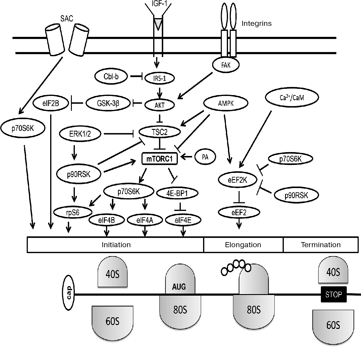 3 Figure1 1 regulation of protein synthesis in inactivated skeletal muscle